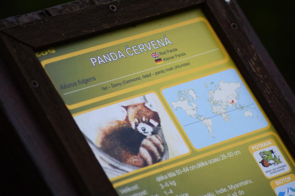 Panda červená v Zoo Brno