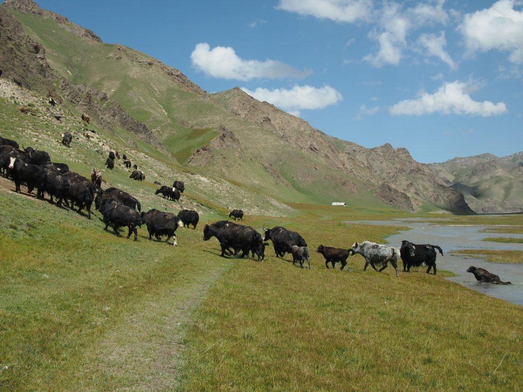 Kyrgyzstán - stádo jaků