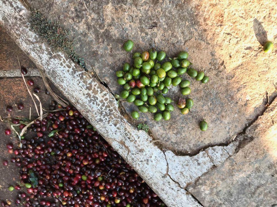 nepražená kávová zrna z farmy Měsíční hora, Chikmagalur, Indie